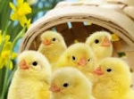 Easter Chicks 2 oz. Size Only during Easter Season