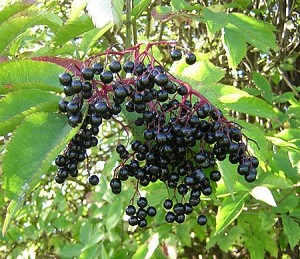 Elderberry 4 oz Size
